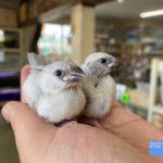 シルバー文鳥 2021/2月生まれ(国産)予約済み