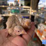 シナモン文鳥 2021/3月生まれ(国産)販売済み