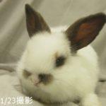 ロップイヤー(ウサギ)