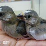 桜文鳥 ヒナ 2020/3月生まれ(国産)
