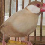 文鳥(若)(国産)