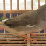 キンカ鳥(ノーマル)(国産)